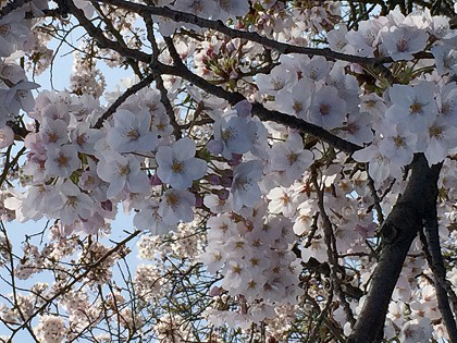 a picture of cherry blossoms. 2017
